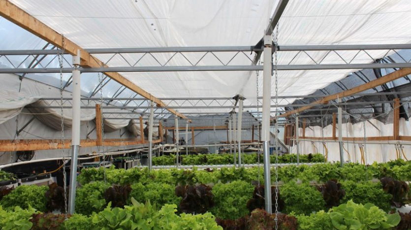 Aquaponic-Bioponic-greenhouse-inside